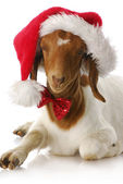 Goat dressed up with santa hat — Stok fotoğraf