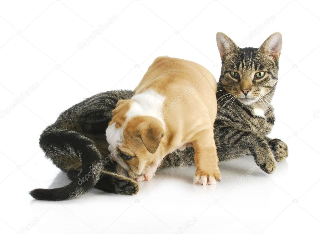 Cat and puppy interacting - english bulldog puppy climbing on mixed breed cat on white background — Stock Photo #13818769