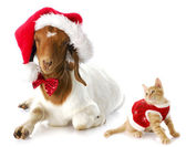 Christmas kitten and santa goat — Stock Photo