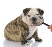 Examining face of dog — Stock Photo
