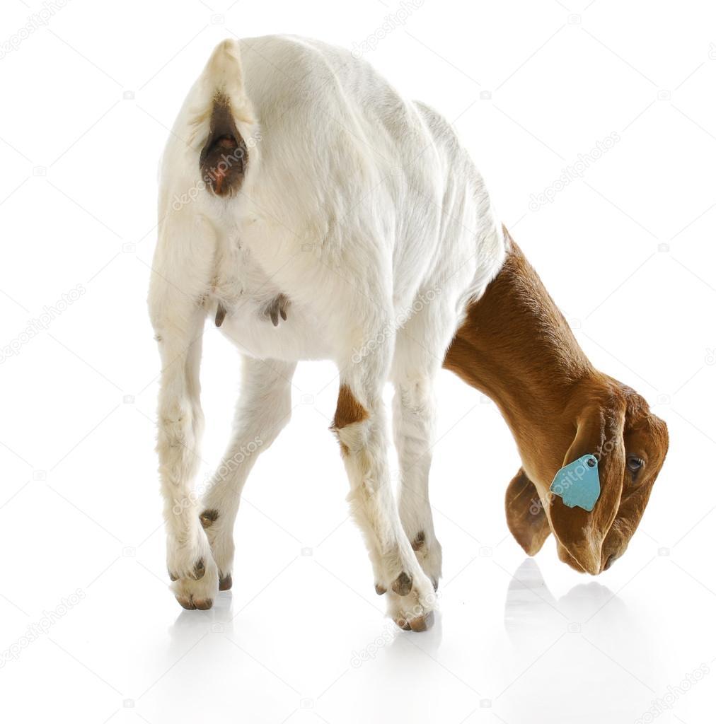 depositphotos_13820927-backside-of-a-goat-doeling.jpg