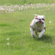 Dog running — Stock Photo #13883519