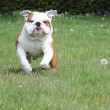 Stock Photo: Dog running