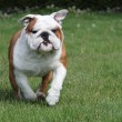 Bulldog running - Stock Photo