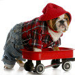 Puppy in wagon — Stock Photo #13885050