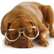 Smart dog - Stock Photo