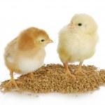 Farm poultry — Stock Photo #13889988