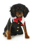 Formal dog — Stock Photo