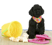 Puppy at the beach — Stock Photo