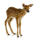 小鹿 — 图库照片