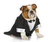 Fancy dog — Stock Photo