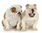 Two bulldogs — Stock Photo