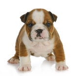 Six week old puppy — Stock Photo