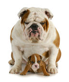 Bulldog vader en zoon — Stockfoto