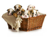 Basket of puppies — Stock Photo