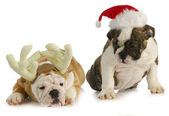 Christmas puppies — Stock Photo