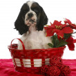 Christmas puppy - Stock Photo
