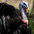 Turkey portrait — Stock Photo