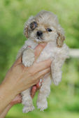 Canine glaucoma — Stock Photo