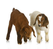 Goat twins — Stock Photo