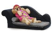 Pies na kanapie — Zdjęcie stockowe