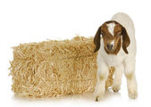 Baby goat — Stock Photo