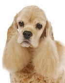 Yaşça daha büyük köpek — Stok fotoğraf