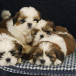 Stock Photo: Litter of puppies