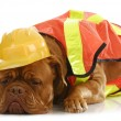 Working dog — Stock Photo #13909007