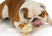 Dog and baby chick — Stock Photo