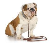 Pies na smyczy — Zdjęcie stockowe