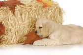 Puppy in autumn setting — Stock fotografie
