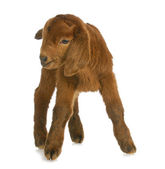 Baby goat or kid — Stock Photo