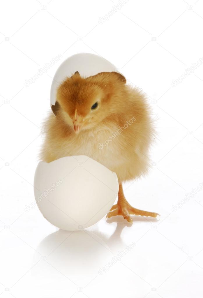 Chicken egg hatching