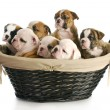 Litter of puppies — Stock Photo #13913116