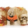 Halloween puppy — Stock Photo