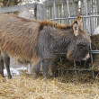 Miniature donkey - Stock Photo