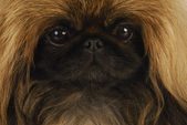 Pekingese face — Stock Photo