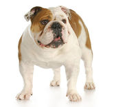 English bulldog standing — 图库照片