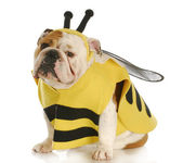 Dog dressed up like a bee — Stock Photo