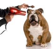 Bulldog being groomed — Stock Photo