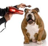 Bulldog wird gepflegt — Stockfoto