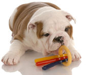 Puppy and chew toy — Stock Photo