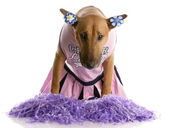 Cheerleader dog — Stock Photo
