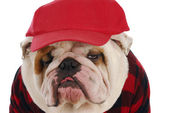 Male bulldog — Stock Photo