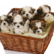Litter of puppies — Stock Photo #13920684