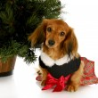 Christmas puppy — Stock Photo #13920943