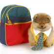 Cute puppy with school bag — Stock Photo