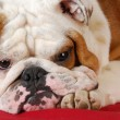 English bulldog - Lizenzfreies Foto