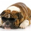 Stock Photo: English bulldog wearing sunglasses